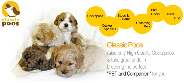 Clearfield Iowa Cockapoo Breeder Cockapoo Puppies Dogs For